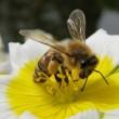 Symbiose-Biene-Blume
