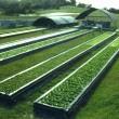 aquaponic_plant_production
